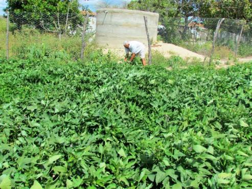 Agricultor mantém plantação de batata-doce graças a tecnologias sociais do Cepfs